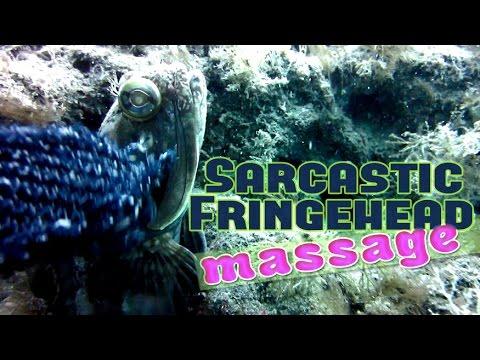 Massaging A Sarcastic Fringehead