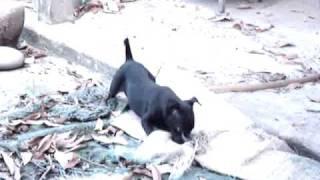 小小台灣犬.
