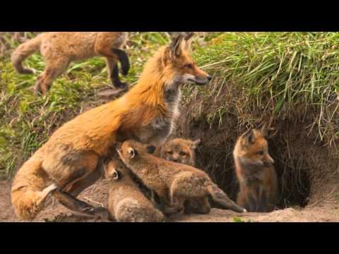 Фрагмент 4 видеозанятия по лексической теме Весна (загадка про лису)