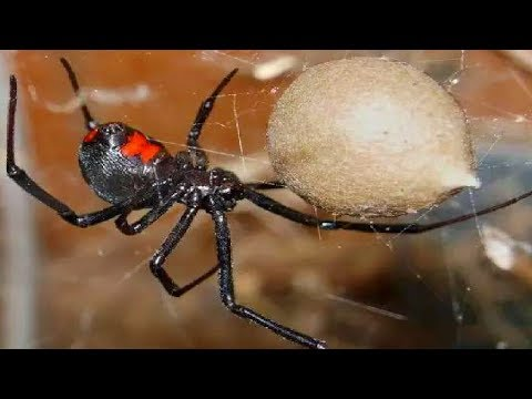 Top 10 Most DANGEROUS Insects in the world!