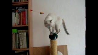 Неудача ждала кошек! Улётное видео! Тайские кошки - это чудо! Funny Cats