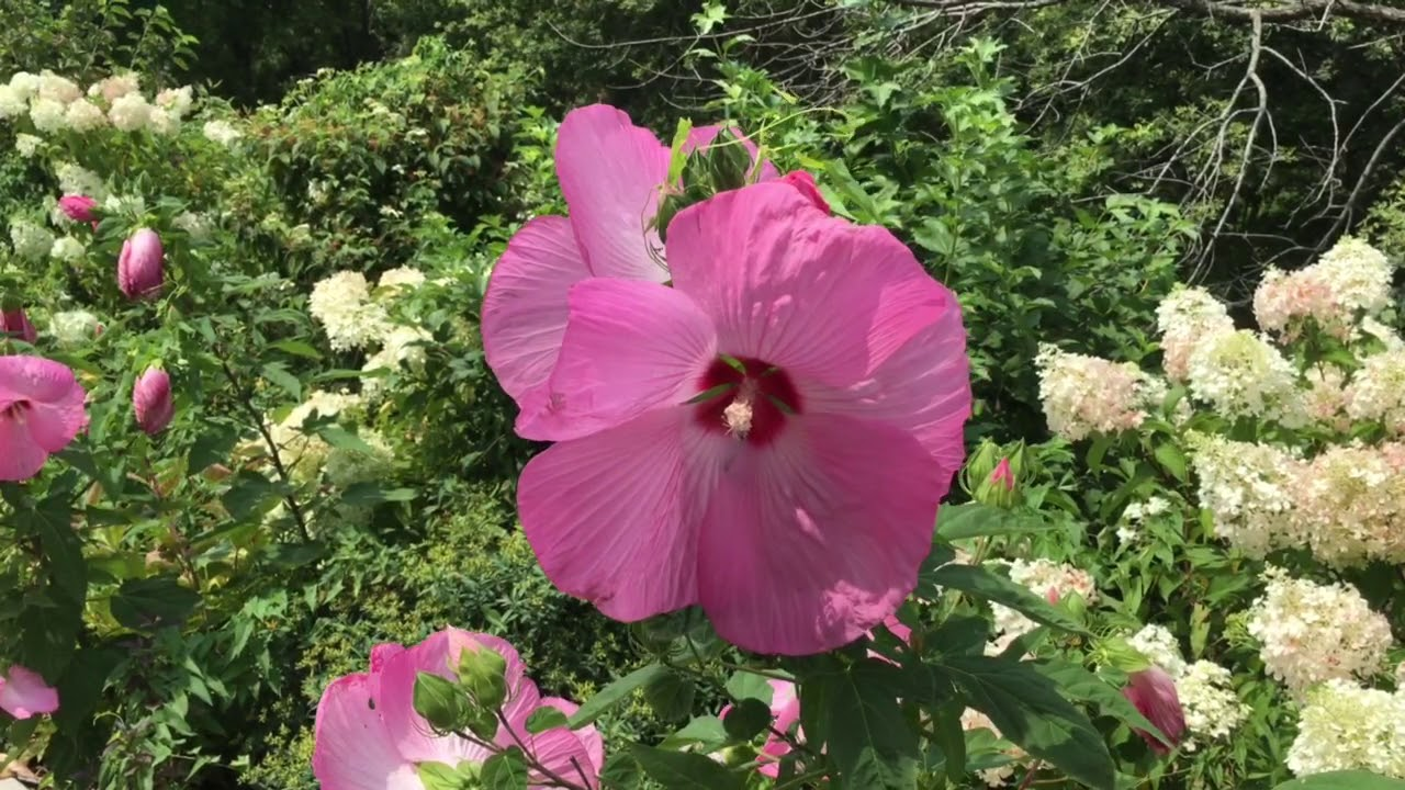 Pink Elephant Hibiscus Blowing In The Wind Youtube