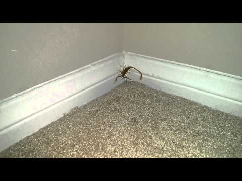 Arizona Bark Scorpion
