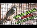 Ciblek Gacor Nembak Volume Tembus Cocok Untuk Pancingan Ciblek Agar Gacor  Mp3 - Mp4 Download