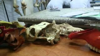 Кости мозгового отдела крс