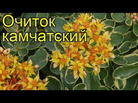 Очиток камчатский. Краткий обзор, описание характеристик, где купить саженцы sedum kamtschaticum