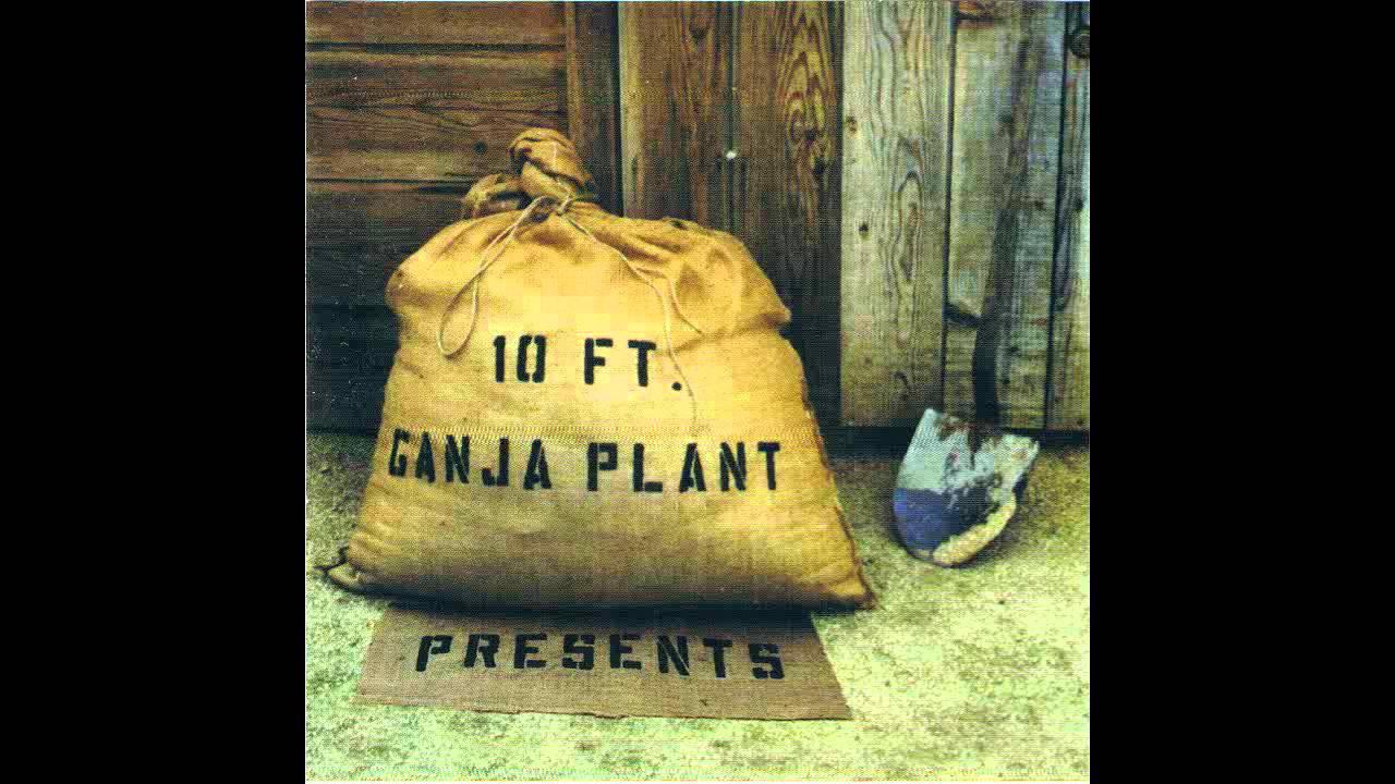 10-ft-ganja-plant-chalwa-antreaccc