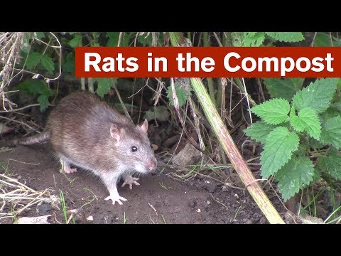 Dealing With Rats In The Compost (warning - Images Of Living And Dead Rats/animals)