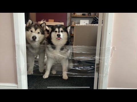 MALAMUTES ATTEMPT INVISIBLE WALL CHALLENGE