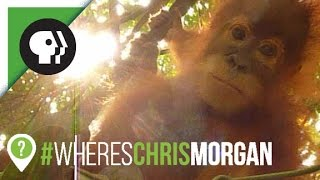 Hanging Out with Orphaned Orangutans | #WheresChrisMorgan | Nature on PBS