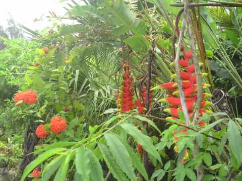 Jardin cr ole du sud sauvage de l 39 le de la r union youtube for Entretien jardin ile de la reunion