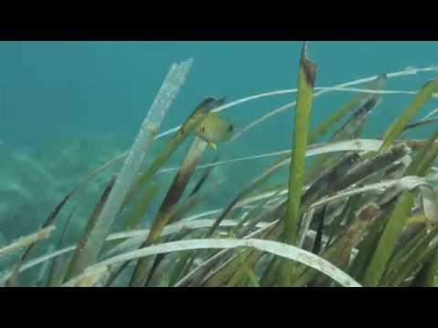 Le Trésor Vert de La Méditerranée ( Posidonia Oceanica Une richesse à préserver 3 )