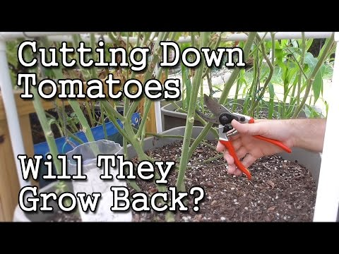 Cutting Down a Tomato Plant -Will it Grow Back? (Garden Experiment)