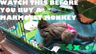 Where To Buy Your PET Marmoset Monkey