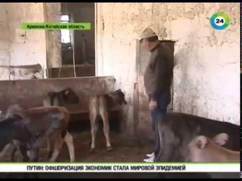 В Армении из за вспышки бруцеллеза фермеры забили сотни коров и овец