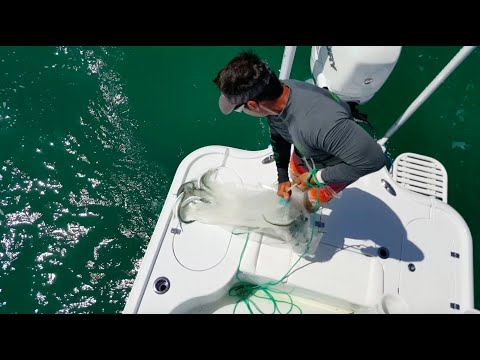 Catching ballyhoo in the cast net in Biscayne Bay | Peter Miller Fishing