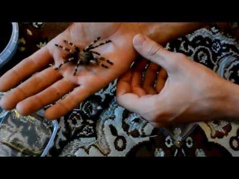 Пауки-птицееды! 400 опасных пауков в квартире!!! (Tarantula, Minsk .