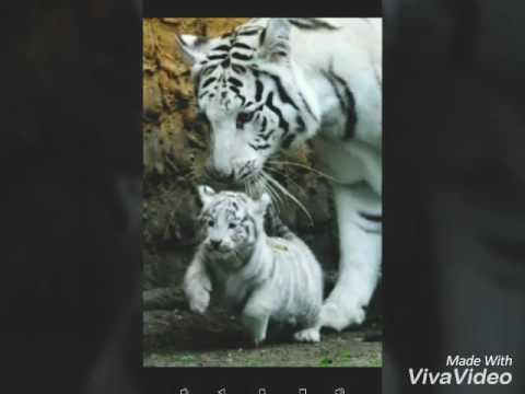 cu tigri albi