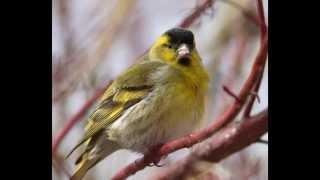 Развивающее видео для детей. Голоса птиц. ЧИЖ