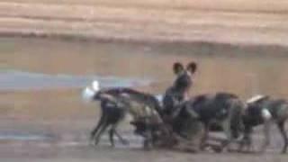 wild dog single handedly kills a male impala