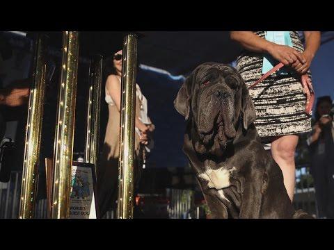 World's Ugliest Dog of 2017 Is a Lovable Neapolitan Mastiff Named Martha