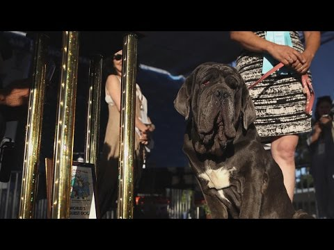 Thumbnail: World's Ugliest Dog of 2017 Is a Lovable Neapolitan Mastiff Named Martha