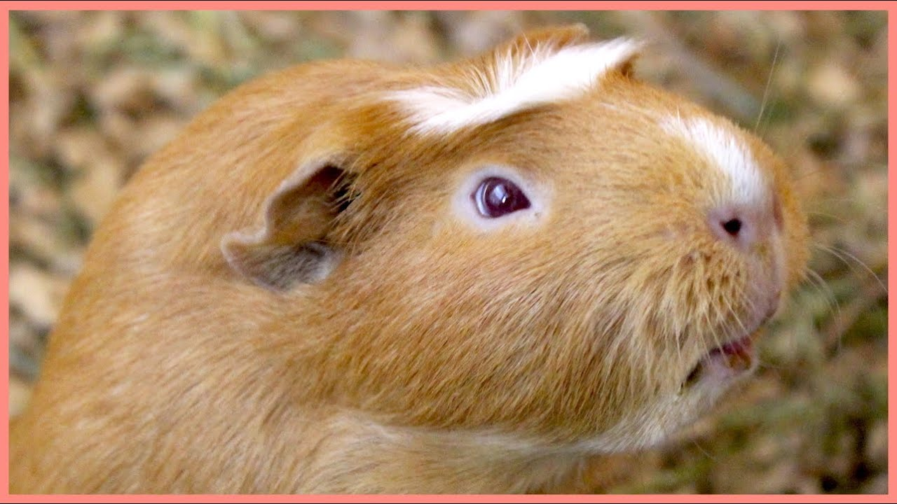 Guinea pig noises in slow motion - YouTube