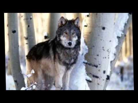 Мурат Тхагалегов - Одинокий волк | ШАНСОН