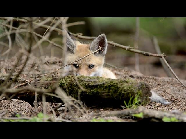 Lis / Red Fox / Vulpes vulpes - Rokickie liski cz. 4