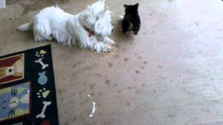 Winston (westie) Playing With London (yorkie)