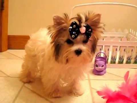 Golddust Yorkshire Terrier Tea Cup Puppy Wwwbiewersyorkiescom