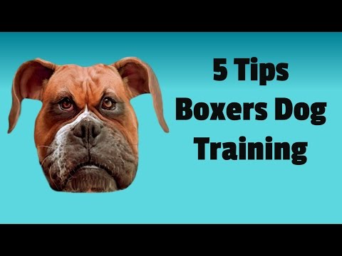 boxer-dog-training-101:-5-basic-tips-to-train-your-boxer