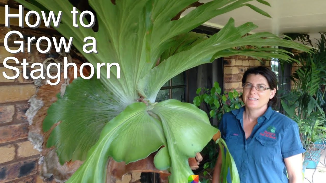 Grow A Staghorn Fern On Your Veranda House Or Tree In Australia You