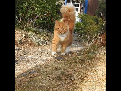 Adventurous cat Primus with a fluffy tail