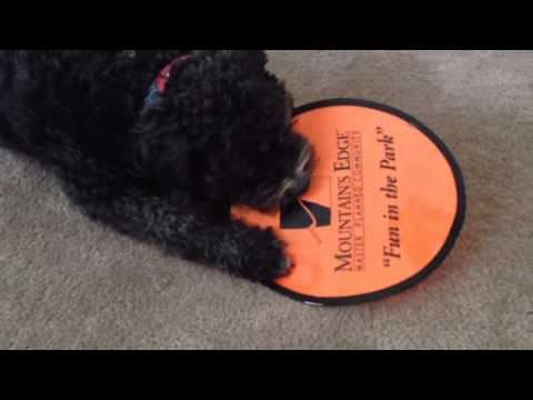 Portuguese Water Dog Playing With A Frisbee!