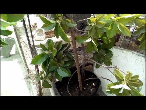 Quieres una planta de aguacate que de frutos r pido como - Plantar aguacate en casa ...