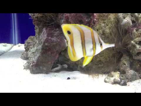 Copperband Butterfly Fish And Aiptasia Naturally Cured