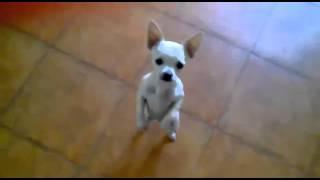Śmieszne psy. Tańczący uroczy piesek :) Cute dancing dog