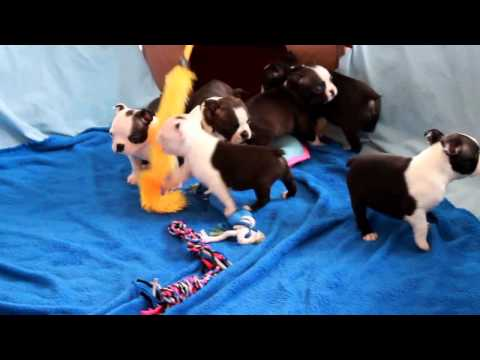 Boston Terrier Puppies For Sale Daniel King - YouTube