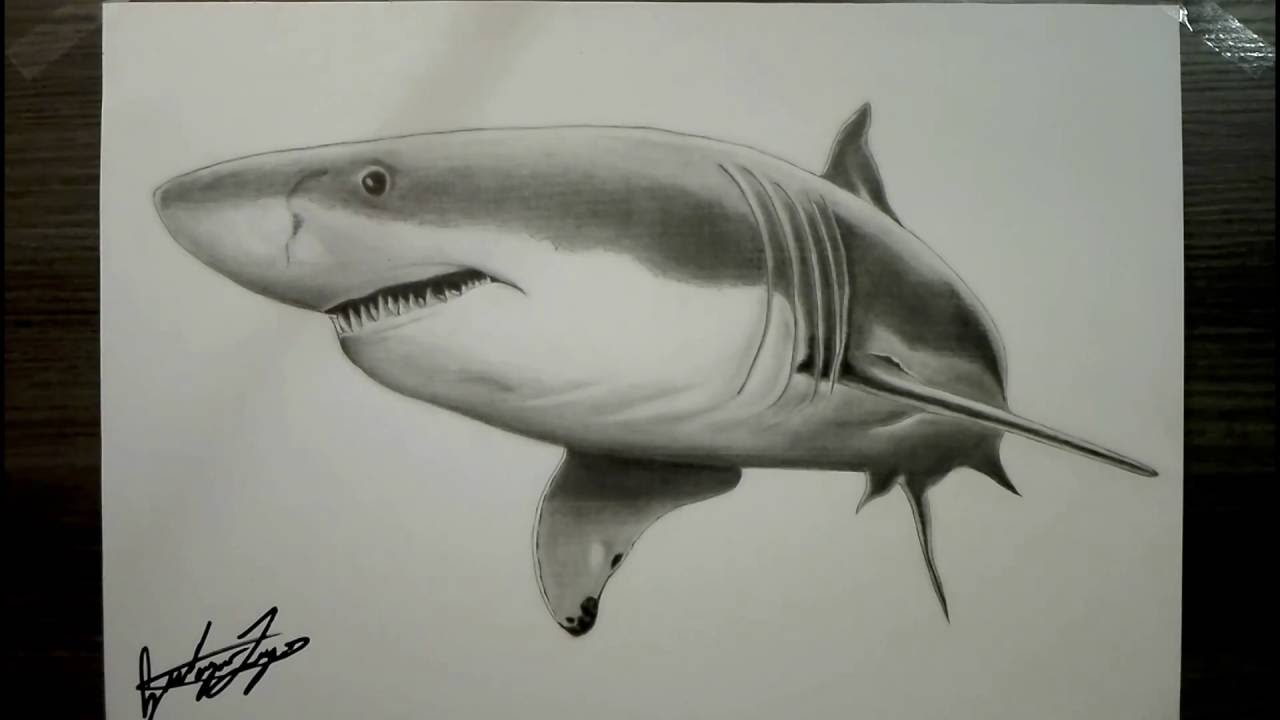 Great White Shark Drawing Realistic Drawi...