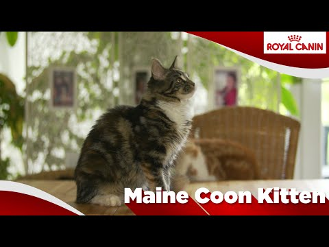 Maine Coon (Chaton)