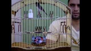 Repeat youtube video coleiro ALUCINADO de Aracruz proprietário Diego Zanqueta