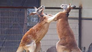 とべ動物園のアカカンガルーが喧嘩してました 激しい.