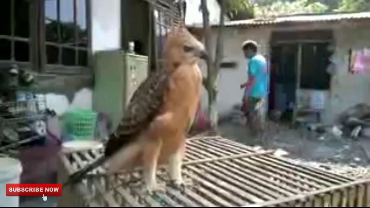 Wow Burung Garuda Masih Hidup Youtube