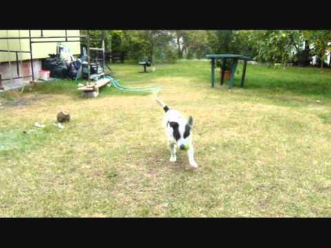 Psie Sztuczki - Maniek ( dog tricks )