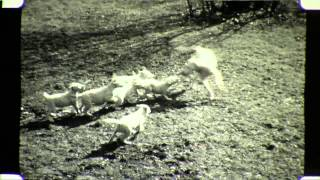The Puppies Of Coolyn Hill, As Some Lambs, English Bull Terriers