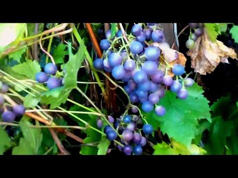 """Укоренение винограда. Сорт """"Загадка Шарова"""" самый простой способ."""