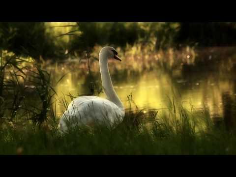 Like a Dream..   ..The Swan