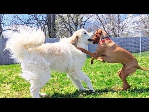 Great pyrenees - white mountain dog Videos 2020