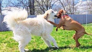 Great pyrenees  white mountain dog Videos 2020
